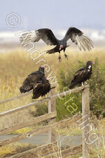 Turkey Vultures Photograph by Andrew Starling Signed Bird Animal Print 5x7