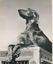 SETTER IRLANDAIS c. 1950 - Chien  Grand Format - CH 54