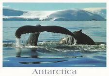 Ansichtskarte Antarktis: abtauchende Buckelwale - Humpback Whales sounding