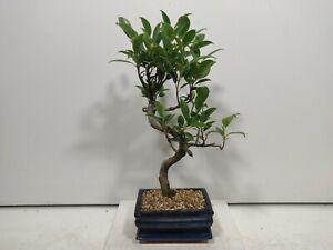 Ficus Retusa ( indoor bonsai) FIG TREE  15cm pot/tray #Z 793