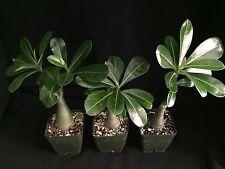 Adenium obesum cv. Texas White, desert rose hybrid