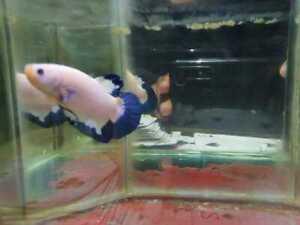 Betta fish Plakat Blue rim