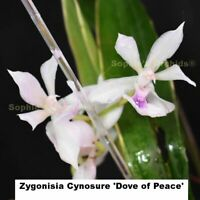 Z715 Zygonisia Cynosure 'Dove of Peace' 3 1/4'' T399
