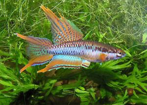 30 EGGS KILLIFISH RARE < Blue  lyretail > HATCHING Free Fairy Shrimp