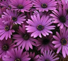 Purple Osteospermum Daisy Seeds 80 Seeds --BUY 4 ITEMS FREE SHIPPING