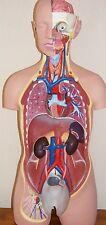 Human 80cm Torso Anatomical Model Medical Anatomy M/F organs