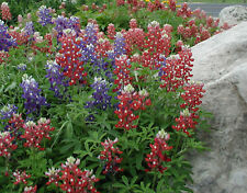 20+  MAROON RED RARE TEXAS BLUEBONNET aka LUPINE / WILD HARDY FLOWER SEEDS