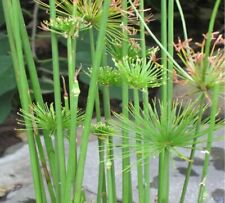 Live Dwarf Papyrus Tropical Aquatic Marginal Pond Plant