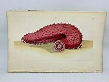 Tremulous Holothuria - 1783 RARE SHAW & NODDER Hand Colored Copper Engraving