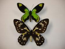 ornithoptera victoriae victoriae pair solomon guadalcanal 5841