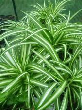 Grünlilie (Chlorophytum) (GSH)