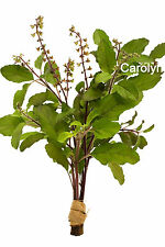 """100 Seeds """" Purple Stem Thai Holy Basil """" Purple Flower Purple Leaf Holy Basil"""