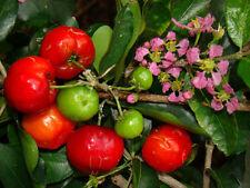 Barbados-Cherry (Sơ-ri Gò Công) Tropical Fruit Trees - 1 Feet Tall