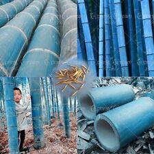 100+ Rare BLUE BAMBOO SEEDS: Beautiful Bonsai Bamboo Bambusa ship 20-45day