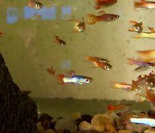 Assorted Male Endlers Poecilia wingei 3 cm Endler's Livebearer Tropical Fish