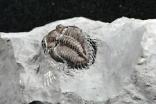 Nice Quality Greenops widderensis Trilobite Devonian Fossil Ontario Paleozoic