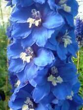 Delphinium 'Blue Lagoon'  20Seeds