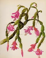 Antique Cactus Botanical Print Vintage Pink Christmas Cactus Art 3176-92