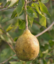 Aegle Marmelos - Bael Fruit / Bengal Quince - Rare Tropical Plant Tree Seeds (5)