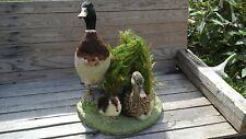 Taxidermie. Famille de canards naturalisée. Année 50.