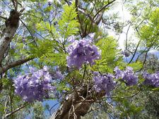 250 Semi Jacaranda mimosifolia, palisanderholz albero, palisanderbaum