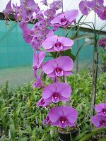 Rare orchid species keiki seedling plant - Dendrobium Phalaenopsis