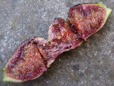 Rare Ficus Carica *Violette de Bordeaux  *Rare Fig trees * 35 fresh seeds *
