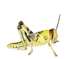 100 subadulte  Heuschrecken Wüstenheuschrecke Futterinsekten Wüstenheuschrecken