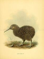 DRAWING BIRD ROWLEY KEULEMANS LITTLE SPOT KIWI CHICK ART PRINT LAH349A