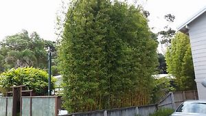 3 x Slender Weavers Gracilis Bamboo Plants. Screening, hedge.SYDNEY ONLY