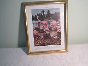 Pink Flamingo Vintage Photo Color Picture Print - Framed National Geographic
