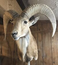 Taxidermy Texas Hunting Trophy Transcaspian Urial Ram head shoulder Mount horns