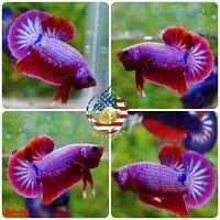 BS94 - Live Betta Fish High Quality Halfmoon Plakat HMPK Galaxy Koi - USA SELLER
