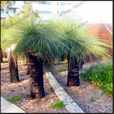Rare Australian Grass Bonsai Tree Ornamental Plants Free Shipping 100 PCS Seeds