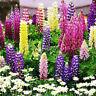 100 stücke Gemischt Russell Lupine Samen Lupinus Schöne für Garten Polyphyl C2X9