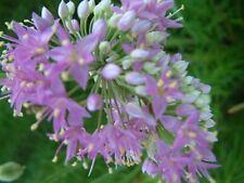 Allium stellatum - Prairie Onion - 30 Seeds