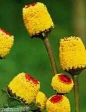 Cresson de Para, 25 graines,plante condimentaire,