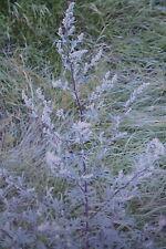 10 Semi Bianco Artemisia,Artemisia lactiflora#472
