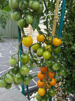 Rambling Gold Tomato - Super High Yield - 15 Seeds