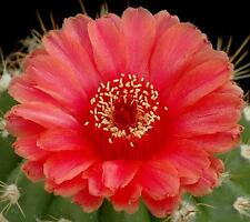 10 Notocactus ottonis var. vencluianus SEMI CACTUS SEEDS KORN PIANTE GRASSE