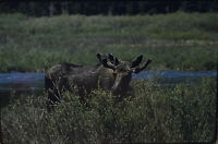 Vintage Photo Slide 1986 Yellowstone Moose