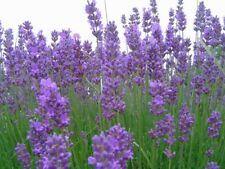 500 SEMI /seeds DI LAVANDA vera PROVENZALE (lavandula officinalis) lavandino