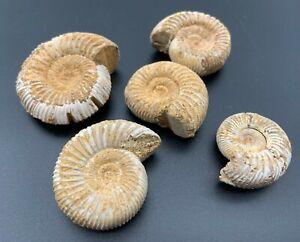 5 Excellent Perisphinctes Ammonite Fossils, 84 Grams In Total, 3.5cm - 1.5cm Día