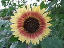 Sunflower Evening Sun (80 seed)-Organic Heirloom from Life-Force Seeds