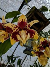 Stanhopea hybrid 3 plant mini collection very nice well established orchids!