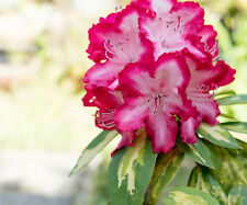3 Rhododendron 'President Roosevelt' Plants In 9cm Pot, Stunning Flowers