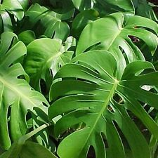 MONSTERA DELICIOSA PLANT HOUSEPLANT TROPICAL PHILODENDRON;FAST GROWING GAL.POT