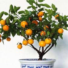 50pcs Edible Small Fruit Mandarin Citrus Orange Tree Bonsai Seeds Potted Seeds