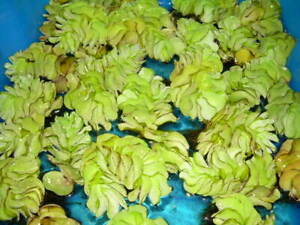3 Büschelfarn XL für den Teich, Garten, Schwimmpflanze, Wasserpflanzen