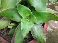 "3 Callisia Fragrans Basket Chain Plants  4"" to 6"" plant"